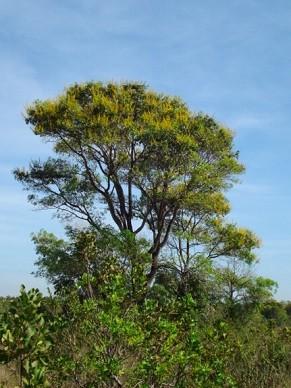 Espécie originária da Amazônia, cambará é cada vez mais comum no Pantanal (Foto: Divulgação/ Ângela Dalmolin)