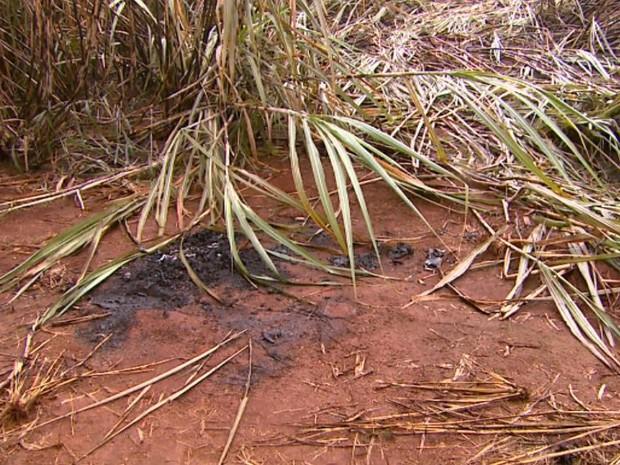 Canavial onde dois homens foram encontrados carbonizados em Guariba, SP (Foto: Carlos Trinca/EPTV)