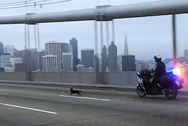 Policial rodoviário G. Pumphrey perseguiu cão na ponte entre São Francisco e Oakland  (Foto: California Highway Patrol/AP)