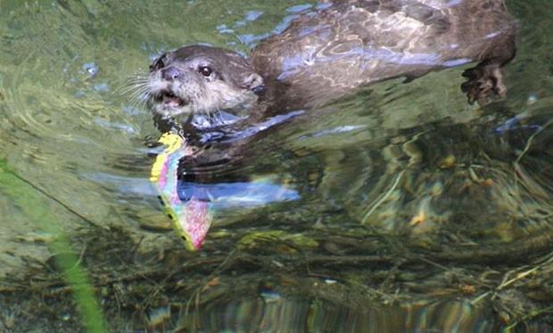 Lontra recupera iPhone após visitante deixá-lo cair em piscina de santuário