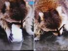 Guaxinim tem 'pior dia da vida' após algodão-doce se dissolver em poça