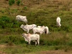 Terminando o prazo para vacinação do gado (Foto: Reprodução/TV Gazeta)
