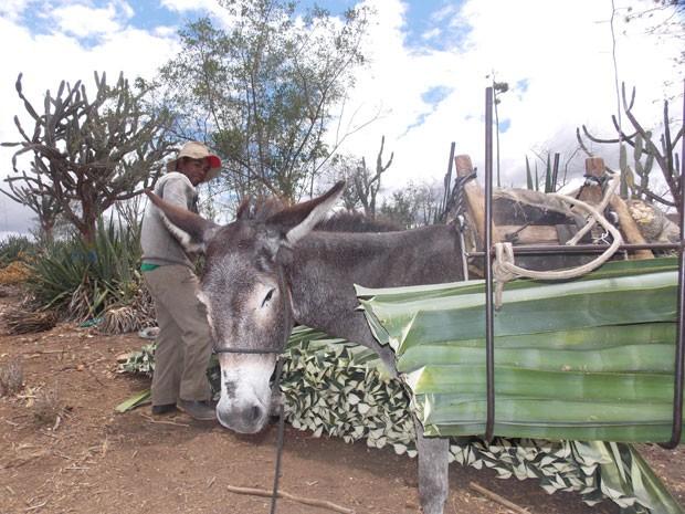 Transporte de sisal colhido é feito por jegues até máquina desfibradora (Foto: Henrique Mendes / G1)