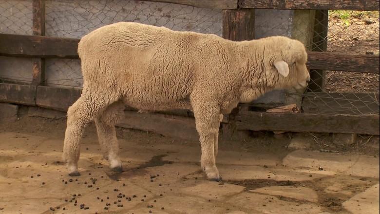 ovelha-Tv-frieira  (Foto: Reprodução/TV Globo)