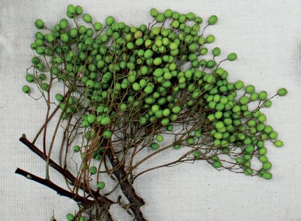 Também chamada de cinamomo, a árvore produz simpáticos frutos redondos. Tem ótimo efeito ornamental, mas é preciso tomar cuidado: as sementes da planta são tóxicas, por isso, mantenha-a longe de animais e crianças (Foto: Marco Antonio/Casa e Jardim)