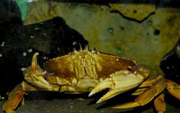 Em outubro deste ano, um caranguejo escapou de virar comida em Seaside, no estado do Oregon (EUA), por contar com três garras, em vez de duas. Sabendo que se tratava de um achado raro, o americano Nathan Fulton doou o crustáceo ao aquário local (Foto: Divulgação/Seaside Aquarium)