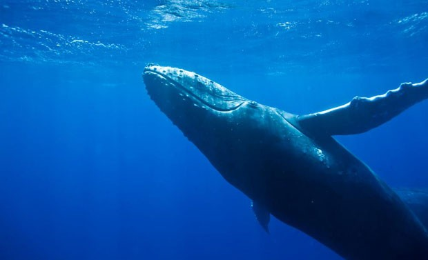 Exemplar de baleia-jubarte registrado no litoral do Brasil; governo retirou espécie da lista de ameaçados de extinção (Foto: Reprodução/Facebook/Instituto Baleia Jubarte)