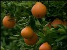 Em MG, agricultores apostam em variedade diferente de tangerina