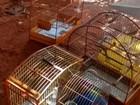 Polícia Militar Ambiental flagra pássaros em cativeiro em Cafelândia