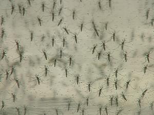 Mosquito transmissor da dengue (Foto: Paulo Chiari/EPTV)