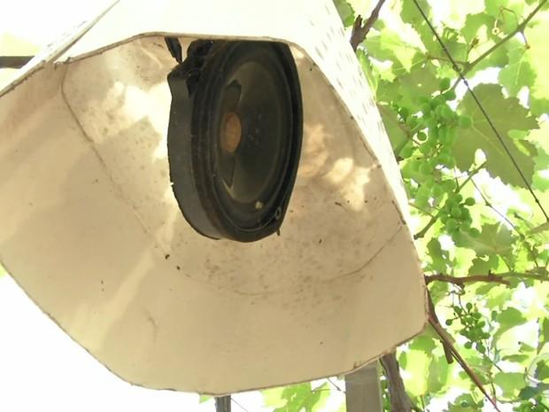Produtor de MT usa alto-falantes para afastar pássaros de plantação de uva (Foto: Reprodução/TVCA)