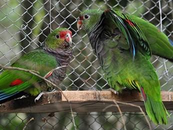 Papagaios são preparados para serem soltos na natureza (Foto: Vanessa Tavares Kanaan/Espaço Silvestre)