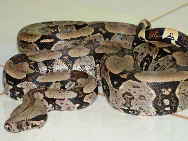 Jibóia vai ser encaminhada para veterinário e biólogo (Foto: Polícia Ambiental/Divulgação)