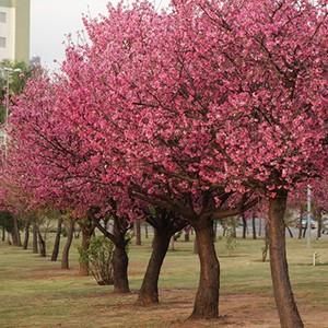Cerejeiras se destacam com florada (José Braz/ TG)