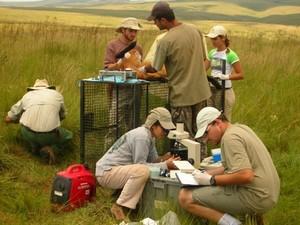 Equipe captura lobos e os monitoram com um rádio colar (Foto: Fernanda Azevedo/Divulgação)