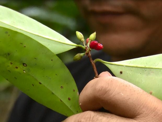 Plantação foi descoberta em área de Mâncio Lima, no interior do Acre  (Foto: Reprodução/TV Cruzeiro do Sul)