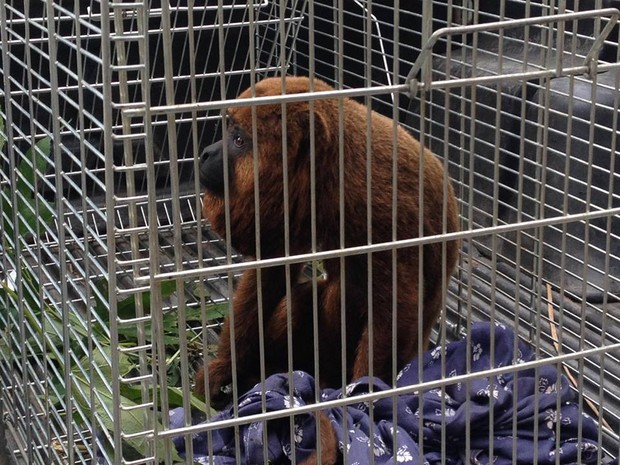 Macaco macho da raça bugio será solto em área de Mata Atlântica (Foto: Fernando Moraes / Inter TV)