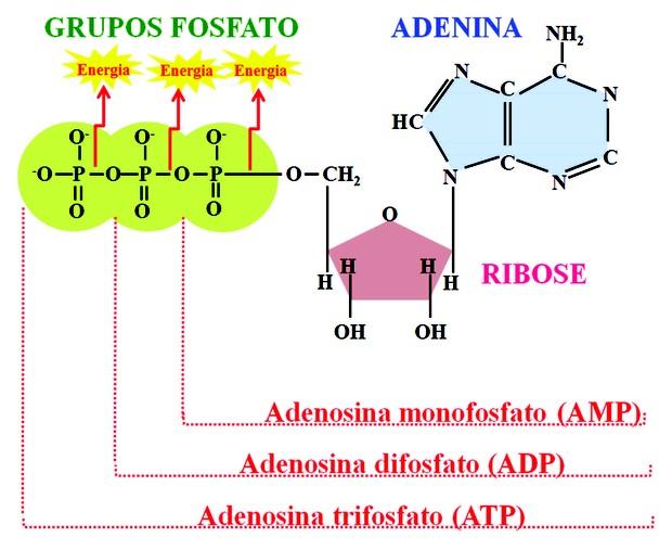 Estrutura do ATP, ADP e AMP (Foto: Objetos educacionais/Mec)