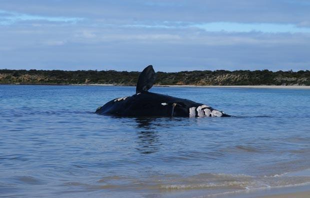Rara baleia-franca-austral apareceu encalhada na Península de Eyre, na Austrália.  (Foto: AFP Photo/South Government Department, Water and Natural Resources/Peter Wilkins)