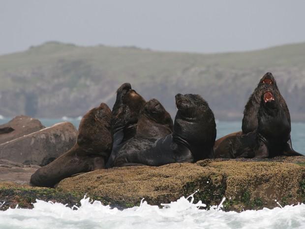 Ilha dos Lobos, em Torres, é um dos mais importantes refúgios de de lobos marinhos do país (Foto: Paulo Ott/Divulgação)