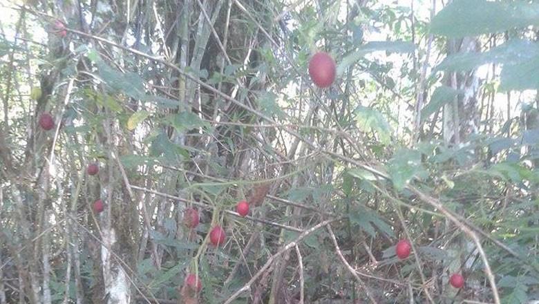 melancia-de-pacu-gr-responde (Foto: Junior Inácio/Acervo pessoal)