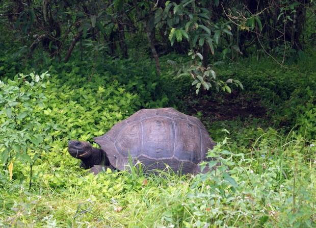 Existem apenas algumas centenas de exemplares da nova espécie de tartaruga descoberta nos Galápagos  (Foto: HO/DPNG/AFP)