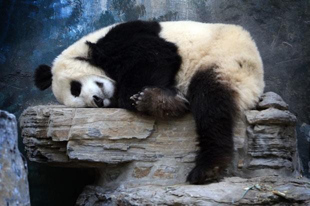 Panda gigante é fotografado tirando cochilo em zoológico de Pequim, na China. (Foto: Mark Ralston/AFP)