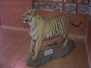 Tigre empalhado faz parte da decoração (Foto: Reprodução/TV TEM)
