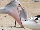Pelicano atrevido coloca cabeça no bico de rival para roubar peixe
