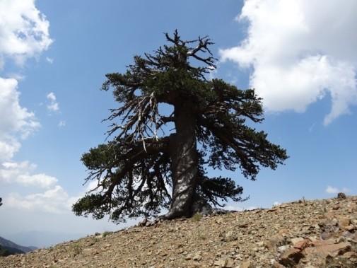 Pinheiro foi encontrado na região norte da Grécia (Foto:  Dr Oliver Konter)