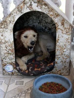 Leão em sua casinha onde vive há dois meses desde que foi adotado (Foto: Fabio Rodrigues/G1)