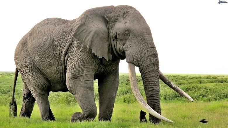 Elefantes africanos da floresta e de elefantes africanos da savana (Foto: Creative Commons)