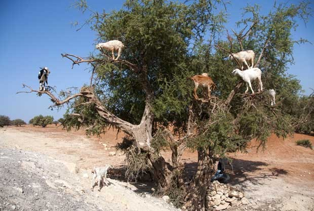 Animais comem fruto local argan (Foto: AFP)