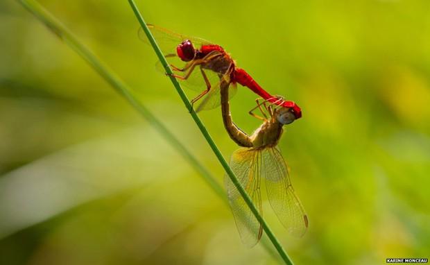 Flagradas durante o acasalamento, que dura apenas alguns segundos, estas libélulas venceram na categoria Ecossistemas e Comunidades (Foto: Karine Monceau/BBC)