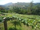 Agricultores da Região Serrana apostam na produção de uva