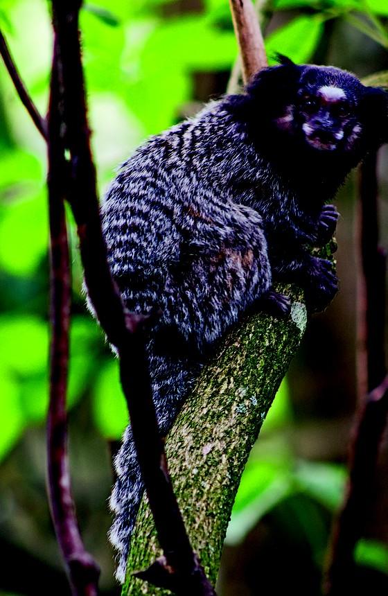 O macaco sagui, nos surtos, são os primeiros a morrer e servem de alerta  (Foto: Rogério Cassimiro/ÉPOCA, AFP)