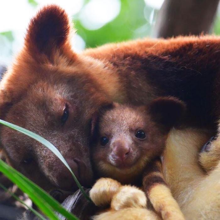 Canguru (Foto: Perth Zoo)