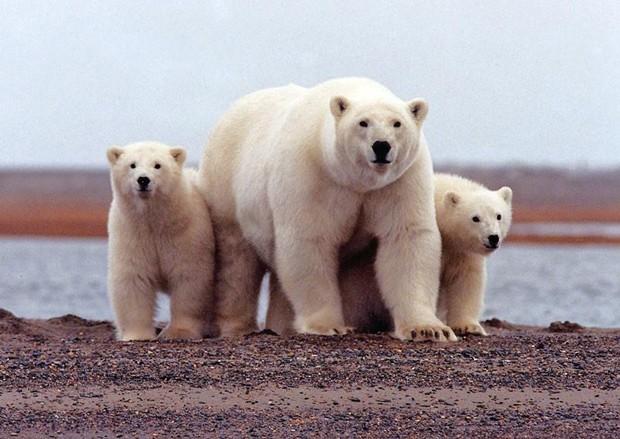 Foto de arquivo de urso polar no Alasca. 6 de marco de 2007 (Foto: Reuters/Susanne Miller/USFWS/Divulgação)