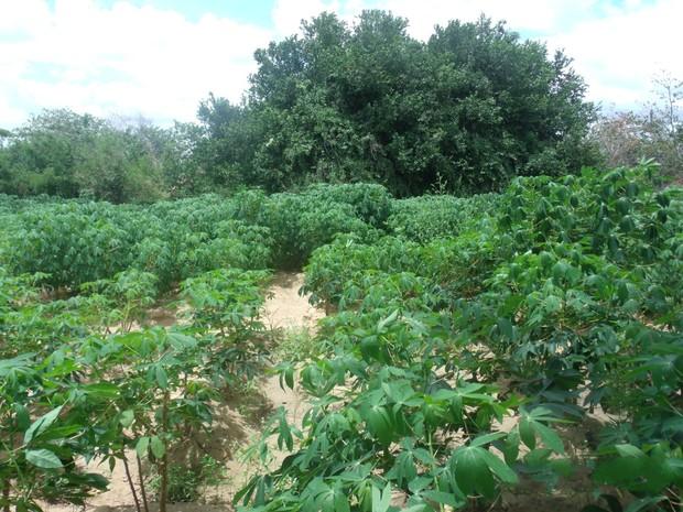 Plantação fica escondida entre pés de mandioca  (Foto: Divulgação/ PF)