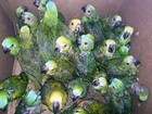 Polícia apreende 126 filhotes de papagaios e tucanos em Pirapozinho
