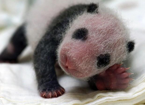 O bebê-panda nasceu no dia 6 de julho e é filho de dois pandas que foram doados à Taiwan pelo governo da China, em um gesto de diplomacia. Os pais chamam-se Tuan Tuan (o macho) e Yuan Yuan (fêmea) (Foto: Zoológico Municipal de Taipei/AFP)