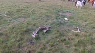 Criadores sofrem com os ladrões de gado na Região Metropolitana
