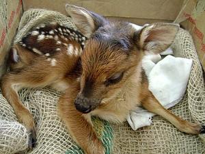Um morador encontrou o cervo em meio a lavoura de café e acionou a Polícia Ambiental do Espírito Santo. (Foto: Divulgação/Polícia Ambiental)