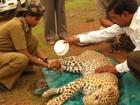 Leopardo caiu no poço? Chame a indiana que não tem medo de feras