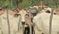 Segue a campanha de vacinação do gado contra aftosa em todo o Brasil