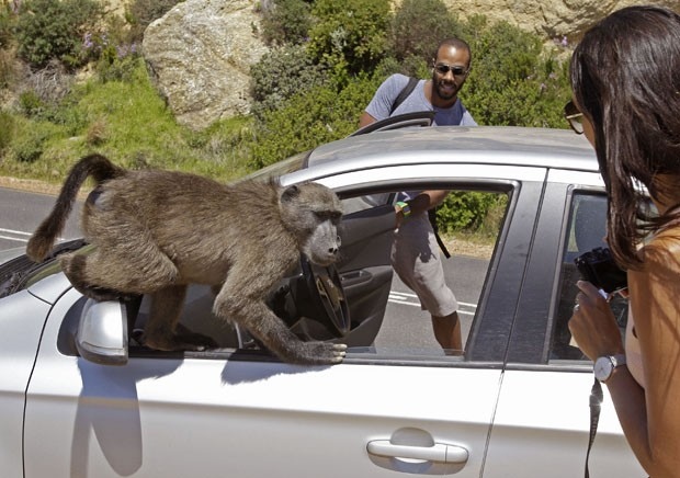 Babuínos atacaram o carro dos turistas Alexandre Casias e Emilie Vachon. (Foto: Schalk van Zuydam/AP)