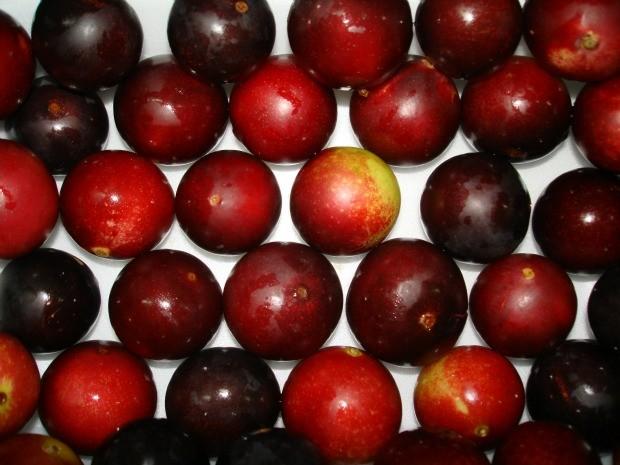 Camu-camu e fruto nativo da região Amazônica (Foto: Kaoru Yuyama)