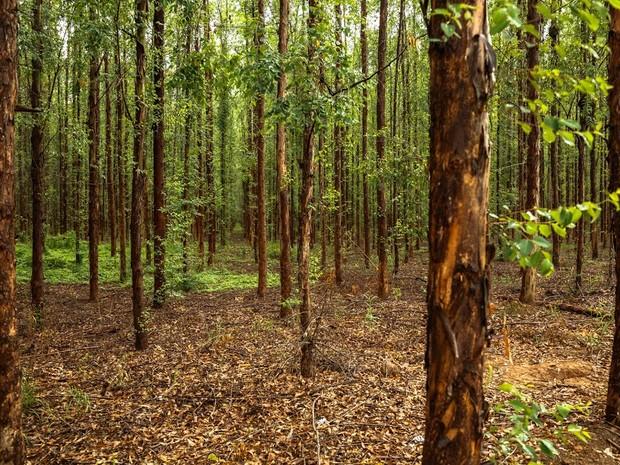 Floresta de eucaliptos Rio Doce - fotógrafos Pouso Alegre, Poços de Caldas (Foto: Rafael Simioni / Arquivo pessoal)