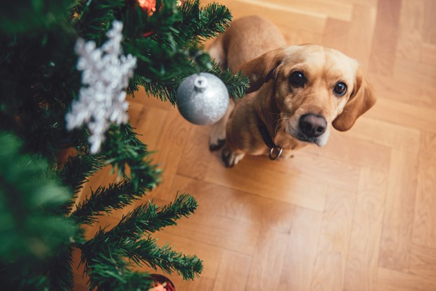 Dog sitting by the christmas tree on wood floor looking at camera (Foto: Getty Images/iStockphoto)