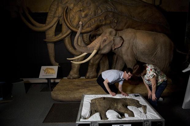 O exemplar foi emprestado pelo Museu de Shemanovsky à instituição inglesa para integrar, temporariamente, uma exposição sobre esses animais já extintos (Foto: Matt Dunham/AP)